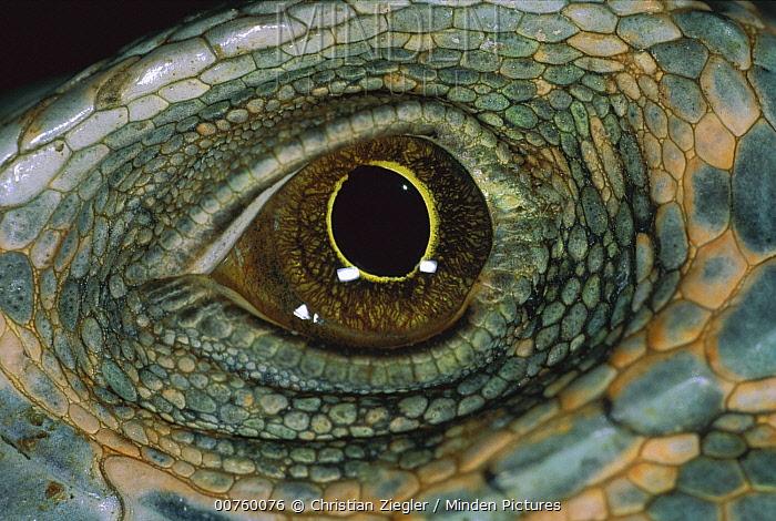 Green Iguana (Iguana iguana) detail of eye, Barro Colorado Island, Panama  -  Christian Ziegler