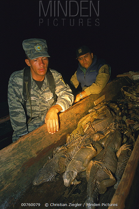 Green Iguana (Iguana iguana) game wardens with confiscated boat full of poached iguanas, Barro Colorado Island, Panama  -  Christian Ziegler