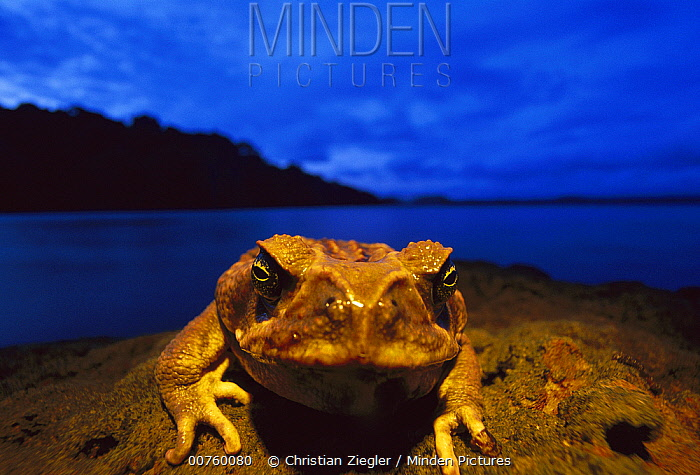 Cane Toad (Bufo marinus) male, along shoreline, Barro Colorado Island, Panama  -  Christian Ziegler