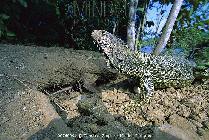 Green Iguana (Iguana iguana) on beach, Barro Colorado Island, Panama  -  Christian Ziegler