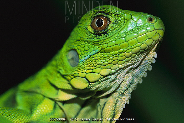 Green Iguana (Iguana iguana) portrait of baby, Barro Colorado Island, Panama  -  Christian Ziegler