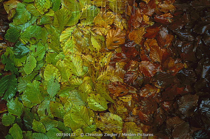 European Beech (Fagus sylvatica) leaves showing gradual change of colors in fall, Jasmund National Park, Ruegen, Germany  -  Christian Ziegler