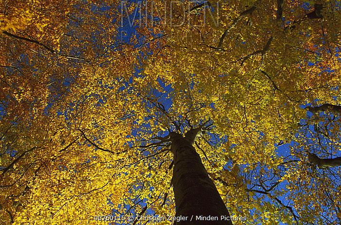 European Beech (Fagus sylvatica) trees from below, Jasmund National Park, Ruegen, Germany  -  Christian Ziegler