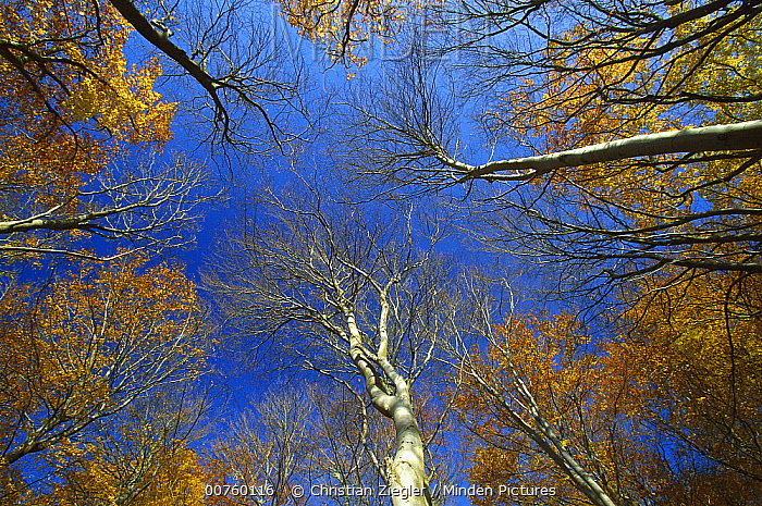 European Beech (Fagus sylvatica) trees from below, Jasmund National Park, Ruegen, Germany  -  Christian Ziegler