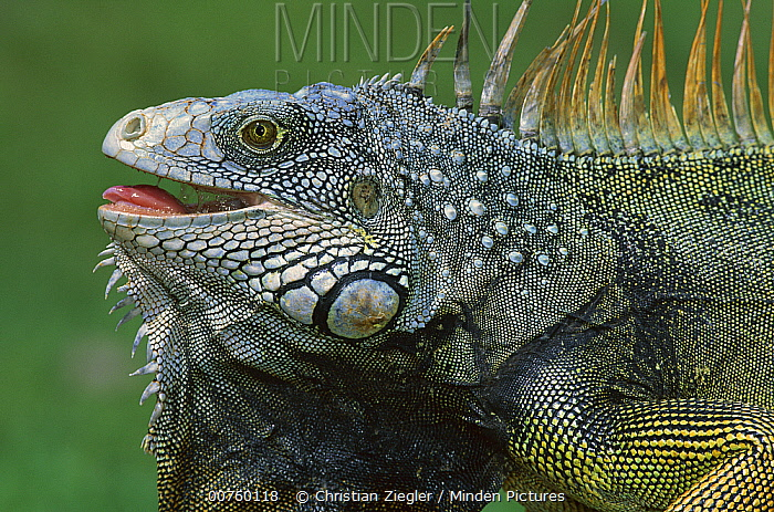 Green Iguana (Iguana iguana) male displaying by extending dewlap and calling, Barro Colorado Island, Panama  -  Christian Ziegler