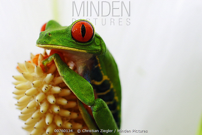 Red-eyed Tree Frog (Agalychnis callidryas) portrait, La Selva, Costa Rica  -  Christian Ziegler