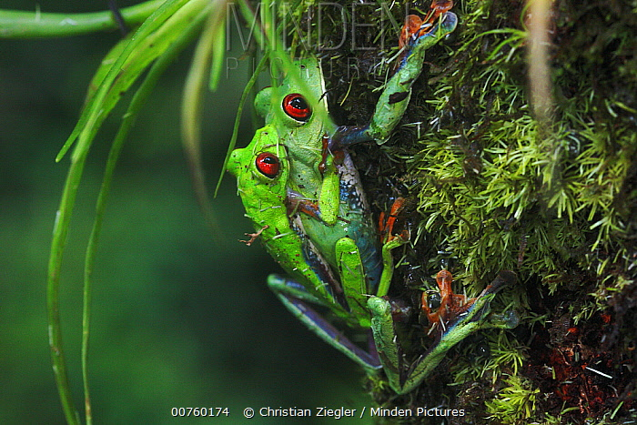 Misfit Leaf Frog (Agalychnis saltator) two mating in La Selva, Costa Rica, this species only mates once or twice per year, usually after a huge rain storm at the end of the dry season  -  Christian Ziegler