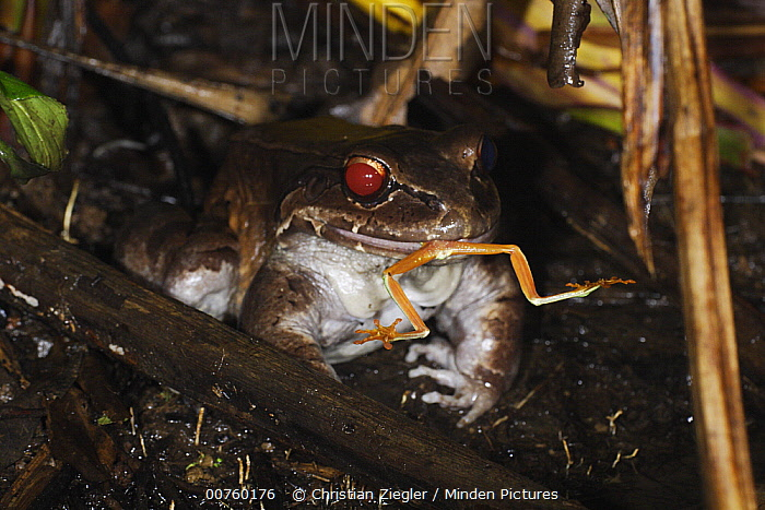 Foam-nest Frog (Leptodactylus sp) feeding on a Red-eyed Tree Frog (Agalychnis callidryas) at a mating pond, Soberania National Park, Panama  -  Christian Ziegler