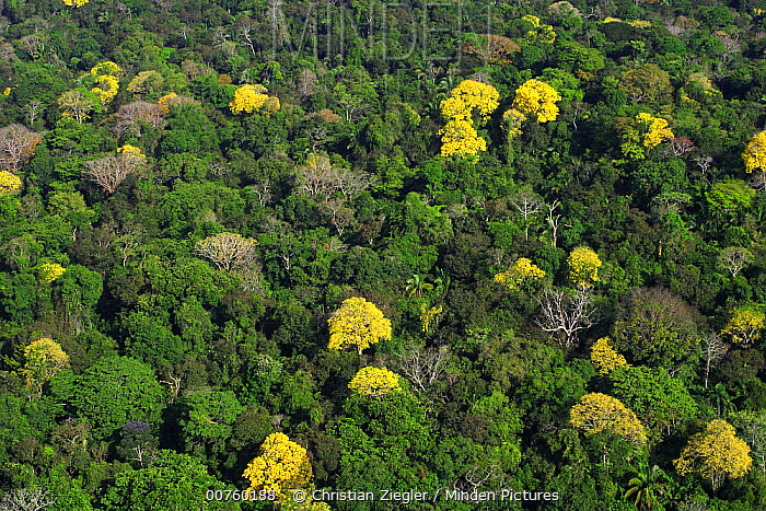 Bignonia (Tabebuia sp) trees flowering in the Canal Zone tropical forest canopy in & Minden Pictures stock photos - Bignonia (Tabebuia sp) trees ...