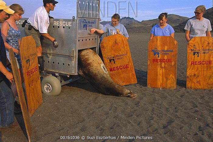 California Sea Lion (Zalophus californianus) bull being released by Marine Mammal Center staff, California  -  Suzi Eszterhas