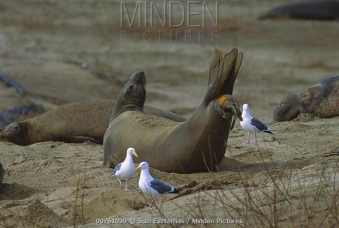 Northern Elephant Seal (Mirounga angustirostris) female giving birth, Ano Nuevo State Reserve, California  -  Suzi Eszterhas