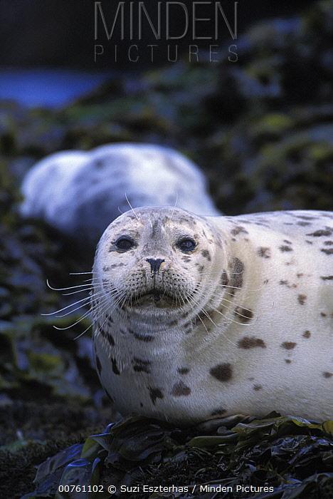 Harbor Seal (Phoca vitulina) portrait, Point Lobos State Reserve, California  -  Suzi Eszterhas
