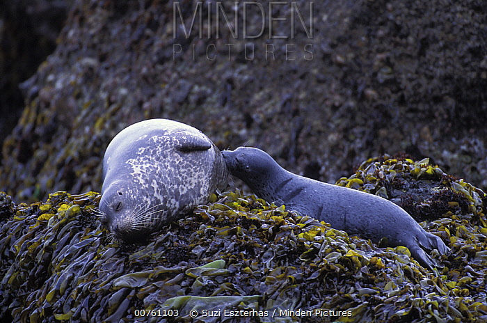 Harbor Seal (Phoca vitulina) mother and pup suckling on seaweed and Kelp covered rocks, Point Lobos State Reserve, California  -  Suzi Eszterhas