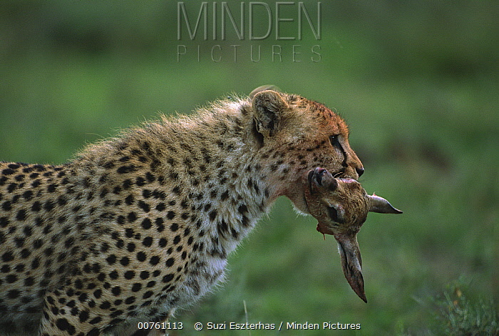 Cheetah (Acinonyx jubatus) cub carrying head of Thomson's Gazelle (Eudorcas thomsonii) fawn prey, Tanzania, east Africa  -  Suzi Eszterhas