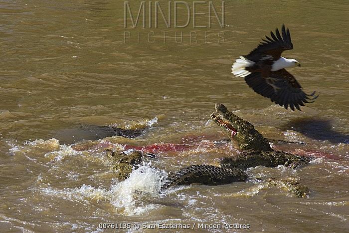 Nile Crocodile (Crocodylus niloticus) eating Zebra as African Fish Eagle (Haliaeetus vocifer) flies overhead, Mara River, Masai Mara National Reserve, Kenya  -  Suzi Eszterhas