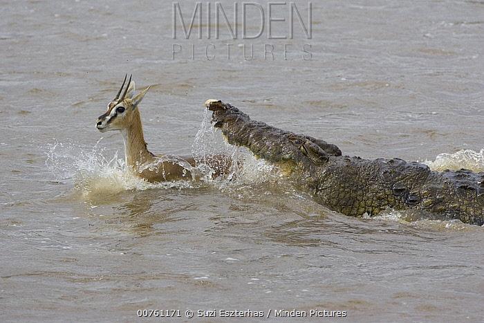 Nile Crocodile (Crocodylus niloticus) attacking a Thomson's Gazelle (Eudorcas thomsonii), Masai Mara National Reserve, Kenya  -  Suzi Eszterhas