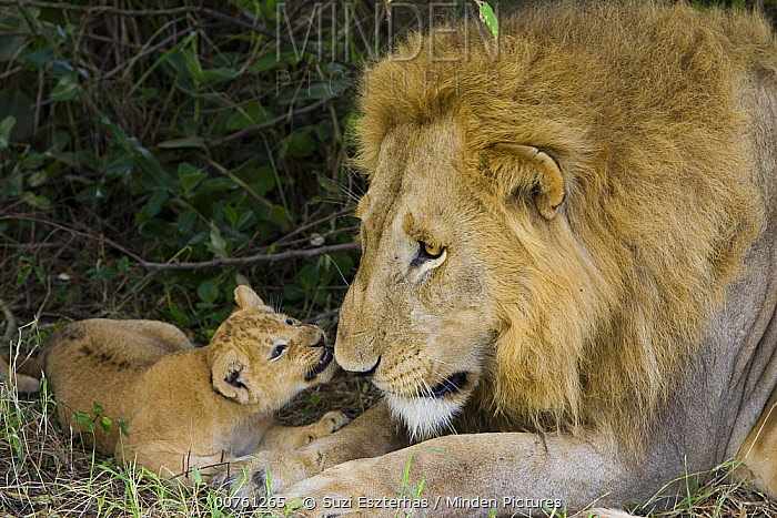 African Lion (Panthera leo) five week old cub playing with adult male after being introduced to pride for the first time, vulnerable, Masai Mara National Reserve, Kenya  -  Suzi Eszterhas