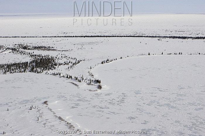 Spruce (Picea sp) trees and lakeshore make up Polar Bear (Ursus maritimus) denning habitat of the Western Hudson Bay population, Wapusk National Park, Manitoba, Canada  -  Suzi Eszterhas
