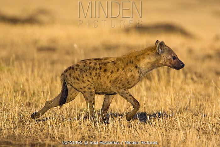 Spotted Hyena (Crocuta crocuta) adult male walking across grassland, Masai Mara National Reserve, Kenya  -  Suzi Eszterhas