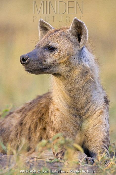 Spotted Hyena (Crocuta crocuta) adult female, Masai Mara National Reserve, Kenya  -  Suzi Eszterhas