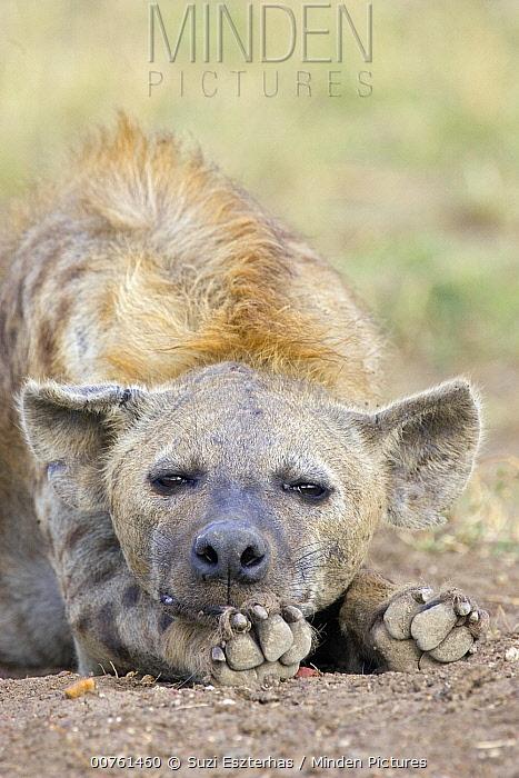Spotted Hyena (Crocuta crocuta) adult resting, Masai Mara National Reserve, Kenya  -  Suzi Eszterhas