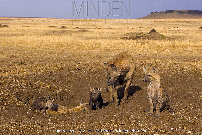 Spotted Hyena (Crocuta crocuta) adult females 8 week old cubs and 14 week old cub at den, Masai Mara National Reserve, Kenya  -  Suzi Eszterhas