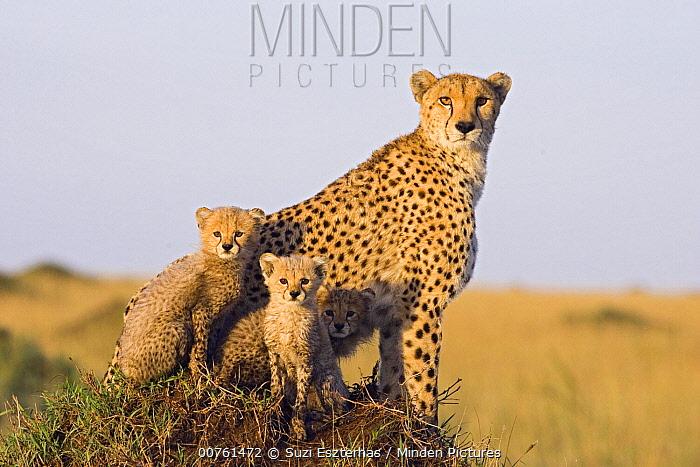 Cheetah (Acinonyx jubatus) mother and eight week old cubs, Maasai Mara Reserve, Kenya  -  Suzi Eszterhas