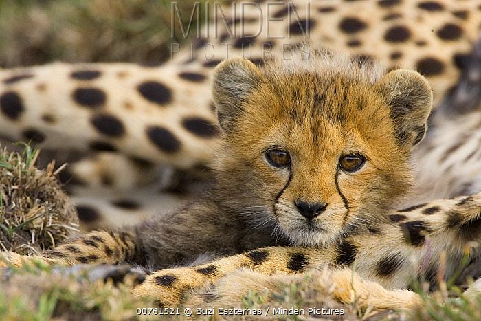 Cheetah (Acinonyx jubatus) cub portrait, Maasai Mara Reserve, Kenya  -  Suzi Eszterhas