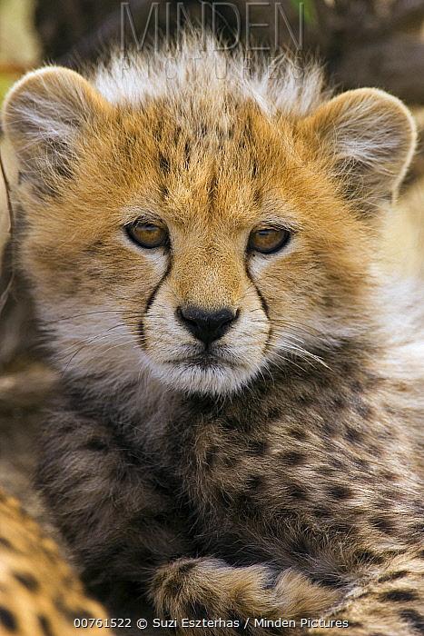 Cheetah (Acinonyx jubatus) ten to twelve week old cub portrait, Maasai Mara Reserve, Kenya  -  Suzi Eszterhas