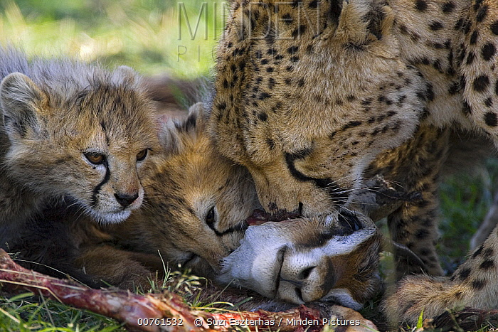 Cheetah (Acinonyx jubatus) six to eight week old cubs and mother at Thomson's Gazelle kill, Maasai Mara Reserve, Kenya  -  Suzi Eszterhas