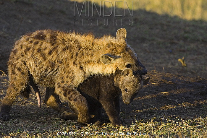 Spotted Hyena (Crocuta crocuta) six to eight month old juvenile playing with ten to twelve week old cub showing dominance, Masai Mara Conservancy, Kenya  -  Suzi Eszterhas