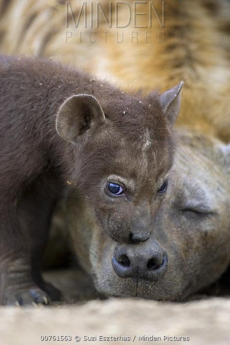 Spotted Hyena (Crocuta crocuta) one month old cub sniffing mother in den, Masai Mara Conservancy, Kenya  -  Suzi Eszterhas