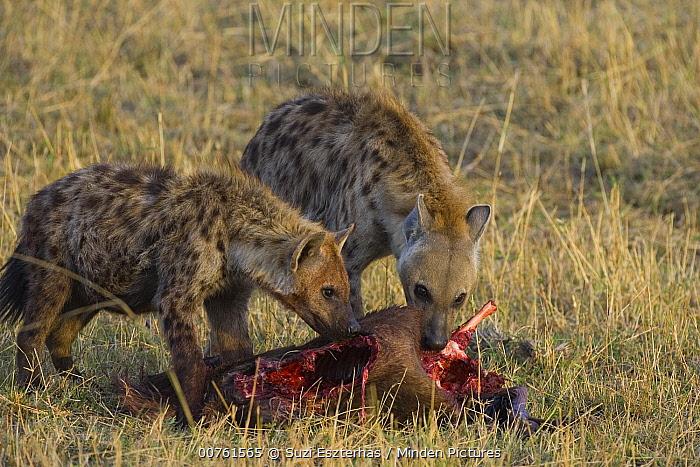 Spotted Hyena (Crocuta crocuta) adult female and juvenile feeding on Wildebeest, Masai Mara Conservancy, Kenya  -  Suzi Eszterhas