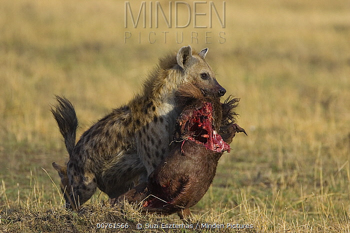Spotted Hyena (Crocuta crocuta) adult female carrying Wildebeest carcass, Masai Mara Conservancy, Kenya  -  Suzi Eszterhas
