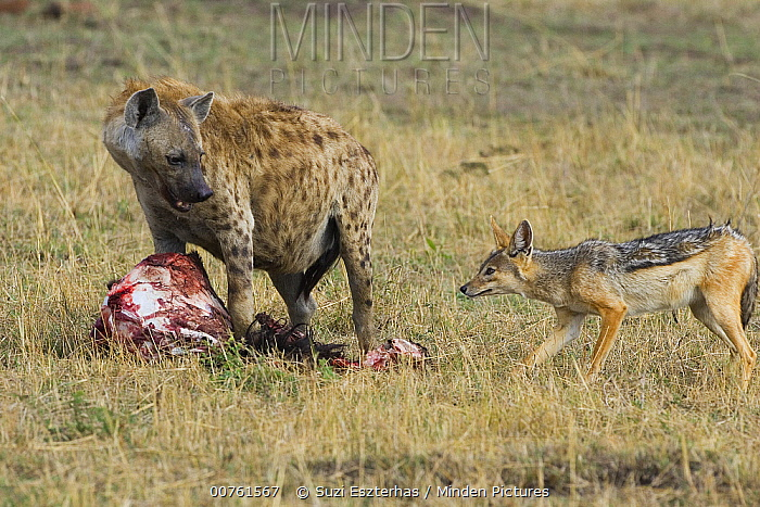 Spotted Hyena (Crocuta crocuta) at Wildebeest kill with Black-backed Jackal attempting to steal food, Masai Mara Conservancy, Kenya  -  Suzi Eszterhas