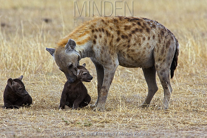 Spotted Hyena (Crocuta crocuta) mother carrying eight week old cub, Masai Mara Conservancy, Kenya  -  Suzi Eszterhas
