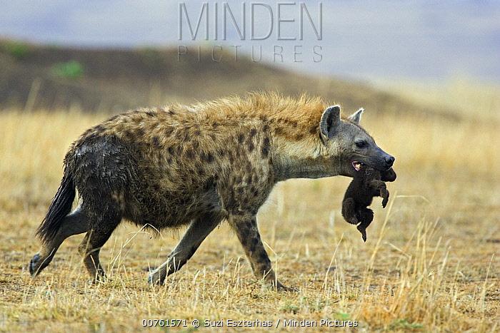 Spotted Hyena (Crocuta crocuta) mother carrying three to four day old cub, Masai Mara Conservancy, Kenya  -  Suzi Eszterhas