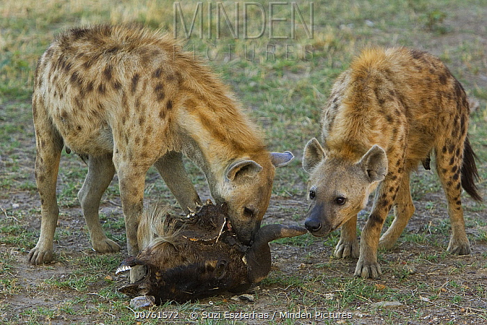 Spotted Hyena (Crocuta crocuta) adult females feeding on Wildebeest head, Masai Mara Conservancy, Kenya  -  Suzi Eszterhas