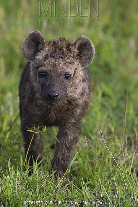 Spotted Hyena (Crocuta crocuta) three month old cub, Masai Mara Conservancy, Kenya  -  Suzi Eszterhas