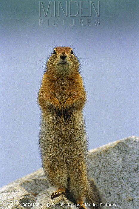 Arctic Ground Squirrel (Spermophilus parryii) adult standing alert  -  Suzi Eszterhas