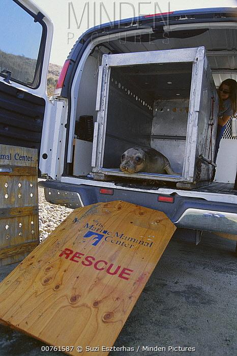 Northern Elephant Seal (Mirounga angustirostris) 8 month old released after rehab, Point Reyes National Seashore, California  -  Suzi Eszterhas
