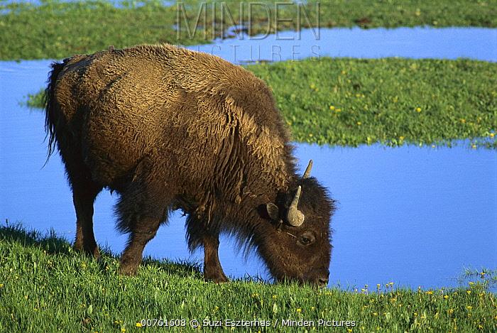 American Bison (Bison bison) drinking from waterhole, Yellowstone National Park, Montana  -  Suzi Eszterhas