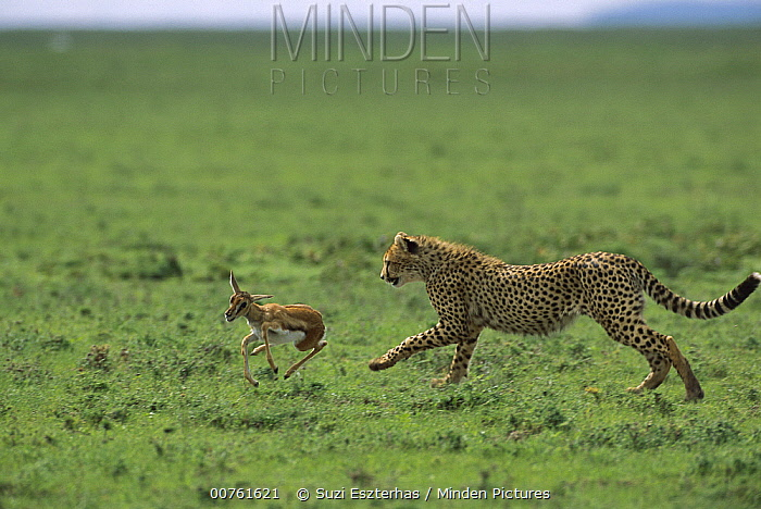 Cheetah (Acinonyx jubatus) 9 month old cub chasing a Thomson's Gazelle (Eudorcas thomsonii) fawn, Ngorongoro Conservation Area, Tanzania, east Africa  -  Suzi Eszterhas