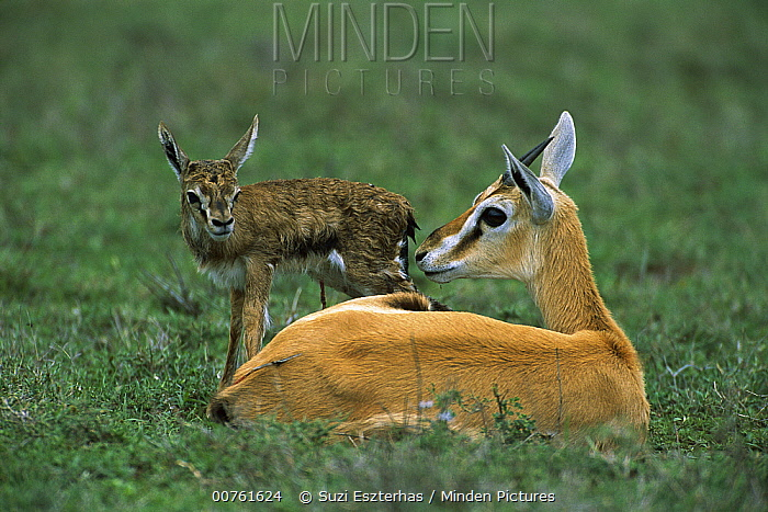 Thomson's Gazelle (Eudorcas thomsonii) mother with newborn fawn struggling to stand, Ngorongoro Conservation Area, Tanzania  -  Suzi Eszterhas