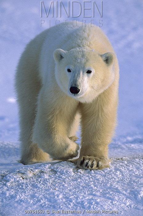 Polar Bear (Ursus maritimus) lone yearling on shore, Churchill, Manitoba, Canada  -  Suzi Eszterhas