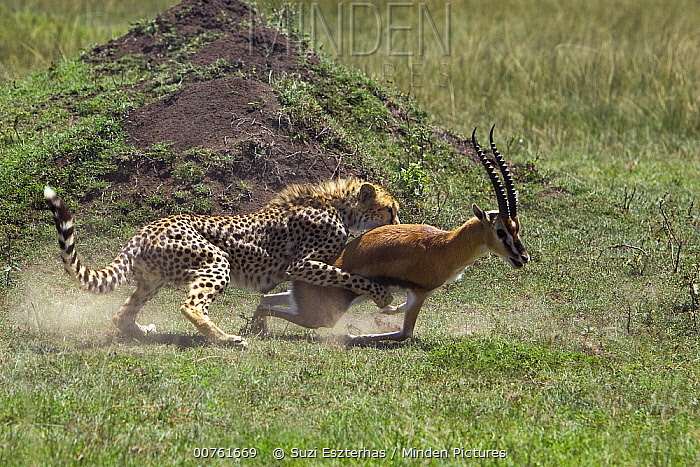 Cheetah (Acinonyx jubatus) male bringing down injured male Thomson's Gazelle (Eudorcas thomsonii), Masai Mara National Reserve, Kenya  -  Suzi Eszterhas