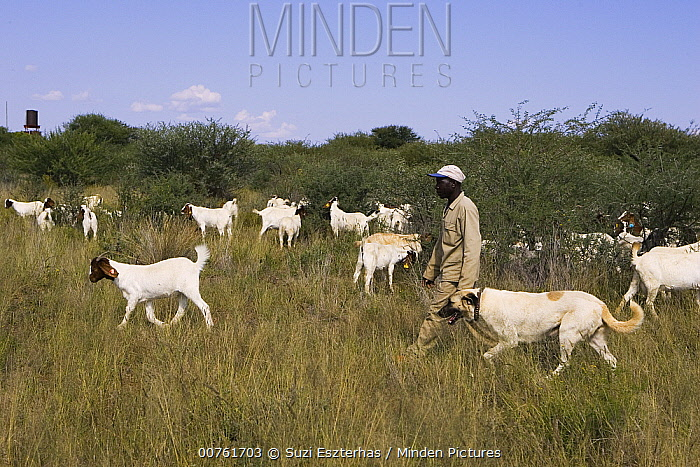 Goat Herder with Anatolian Shepherd, dog used by Cheetah Conservation Fund in Namibia to deter cheetahs from preying on livestock, Cheetah Conservation Fund, Otijwarongo, Namibia  -  Suzi Eszterhas