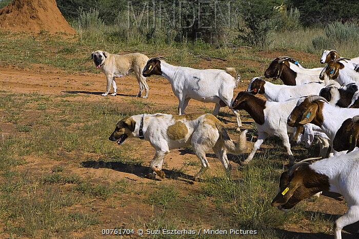 Anatolian Shepherd with herd of goats, dog used by Cheetah Conservation Fund in Namibia to deter cheetahs from preying on livestock, Cheetah Conservation Fund, Otijwarongo, Namibia  -  Suzi Eszterhas