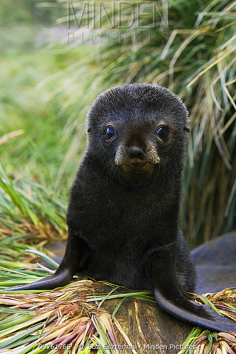 Antarctic Fur Seal (Arctocephalus gazella) 1 to 2 week old pup in tussock grass, Prion Island, South Georgia  -  Suzi Eszterhas