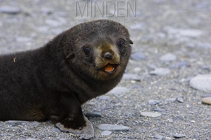 Antarctic Fur Seal (Arctocephalus gazella) 1 to 2 week old pup, Salisbury Plain, South Georgia  -  Suzi Eszterhas